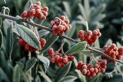 winter_raureif_frucht_1
