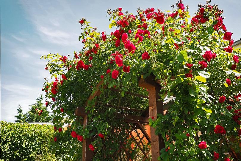 Rosenpflanzen Dürfen In Einem Englischen Garten Nicht Fehlen Und Kommen In  Praktisch Allen Formen Zum Einsatz U2013 Unter Anderem Als