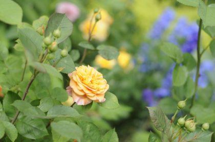 rosen-bb
