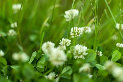 white Flowering clover Trifolium pratense. selective focus macro shot with shallow DOF