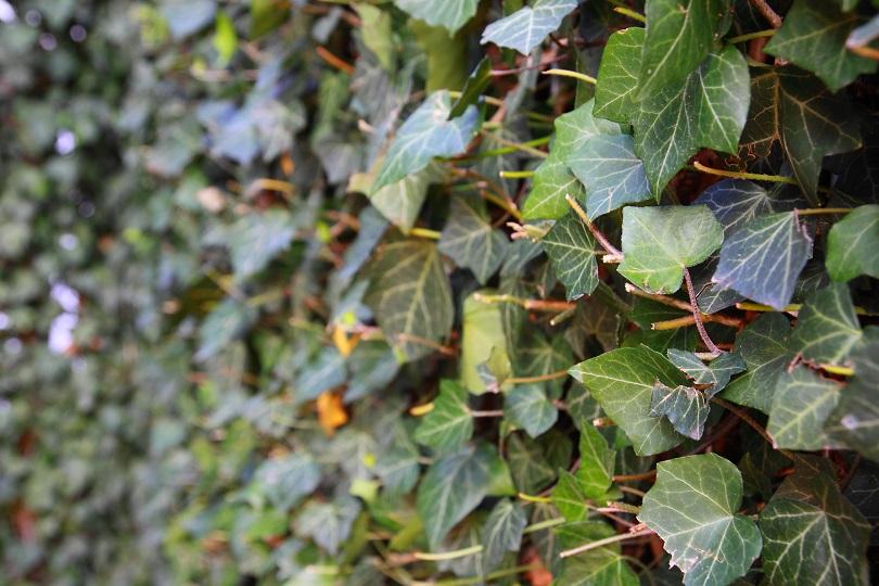 Schöne Kletterpflanzen kletterpflanzen für den garten tipps meister meister
