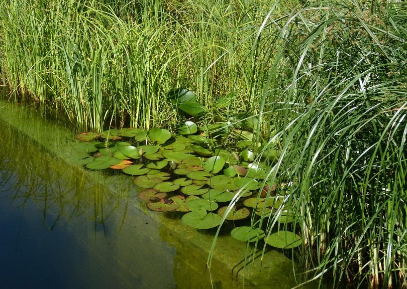 Schwimmteichpflanzen