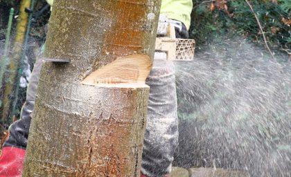 Baumfällung erfordert viel fachliches Know-how