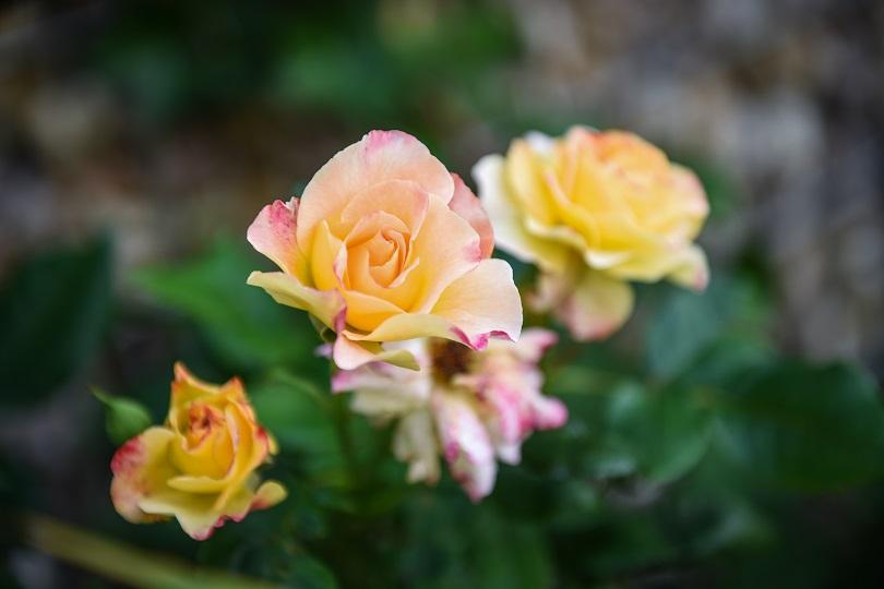 Rosen im Cottage Garten
