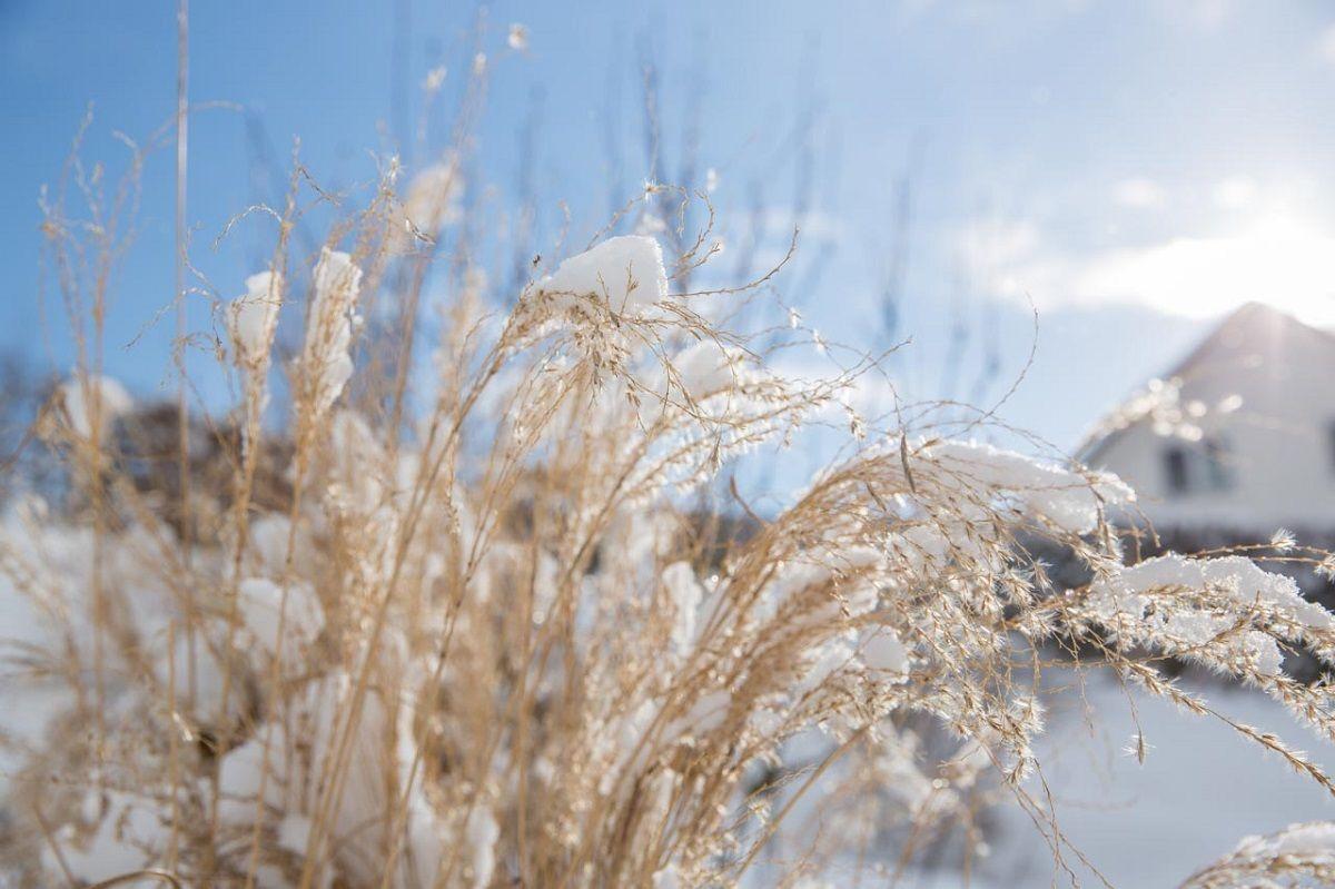 Süßgräser im Winter